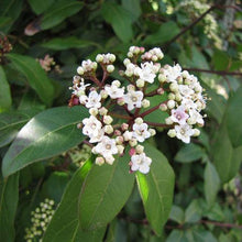 Load image into Gallery viewer, Viburnum 'Spring Bouquet'