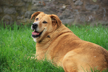 The New Normal: Obesity in Pets
