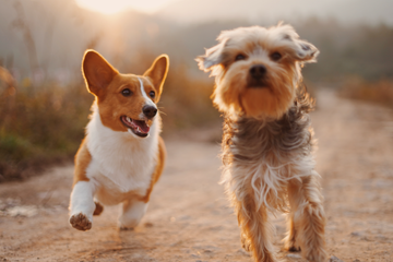 Dog Ownership and Cardiovascular Health!