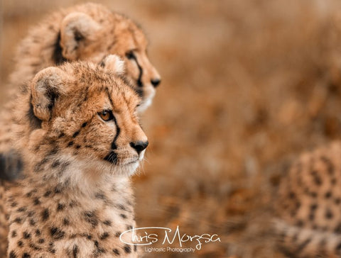 On the Watch - Cheetah Series 1
