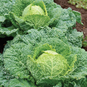 150//1500 Seeds Cabbage Burts Pointed Early Cabbage Of Spring Dark Green