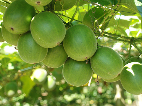 monk fruit on tree
