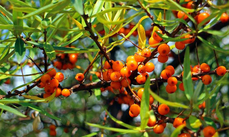 Everything You Wanted to Know About Sea Buckthorn