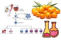 Sea buckthorn Extract Activates Stem Cell Function in Human Study