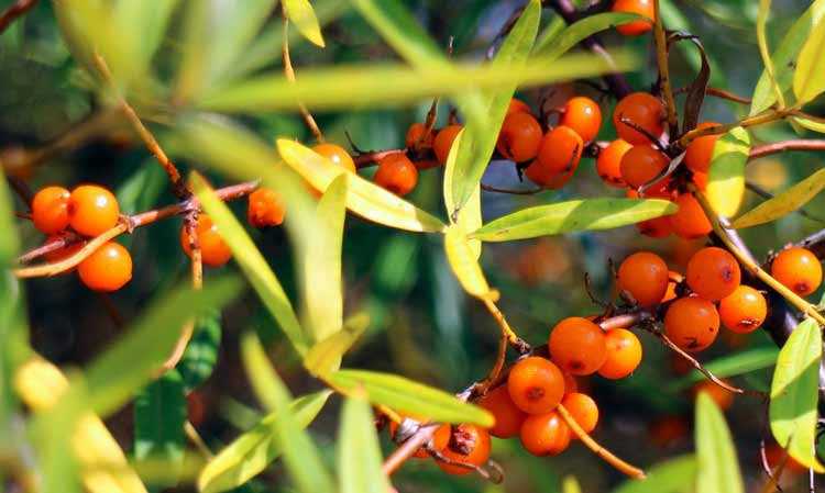 The Great Nutrition in Sea Buckthorn