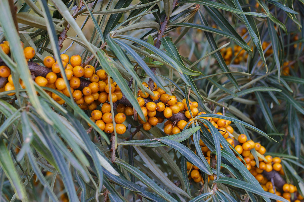 Why Sea Buckthorn is the Best Source for Omega 7