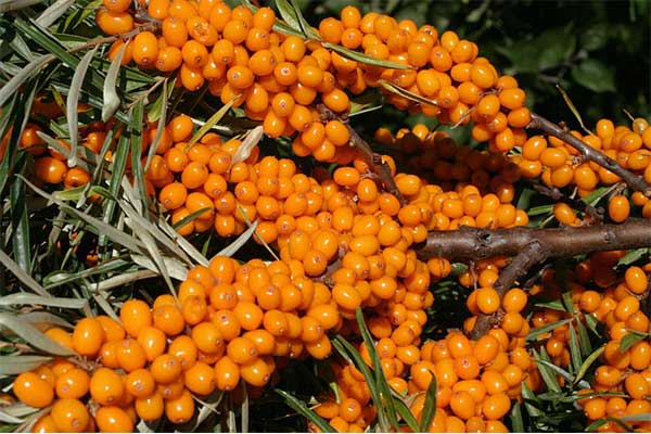 What do New Studies Say about Sea buckthorn Oil?