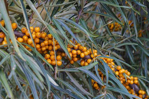 Sea Buckthorn is the Best Source for Omega 7