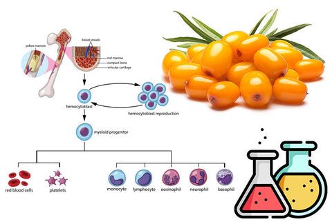 An exciting new study has shown that sea buckthorn extract had a positive effect on stem cell activity in the human body. Intrigued by the antioxidant rich properties of sea buckthorn berry, researchers wanted to see how it could affect various types of stem cells. Since human research has so far been limited, this could be important for understanding how sea buckthorn works in the body.