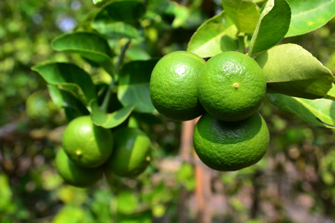 Lemon lime on tree for cleanse