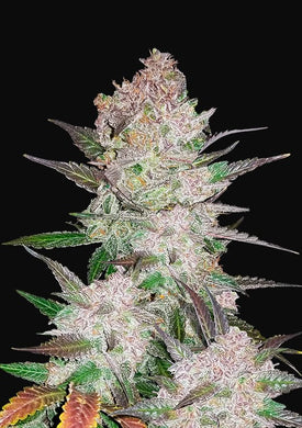 Fast Buds Auto Cream Cookies 5 Seeds