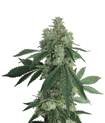 Auto pineapple Feminised 5 seeds
