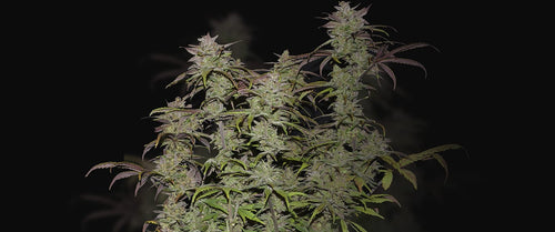 Fast Buds Auto Smoothie 5 Seeds
