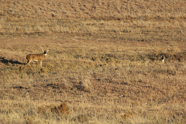 whitetail buck in lockdown with doe