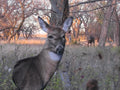 effective bowhunting decoy for attracting big bucks during the rut