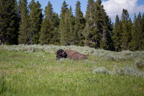 Bison in Wilderness