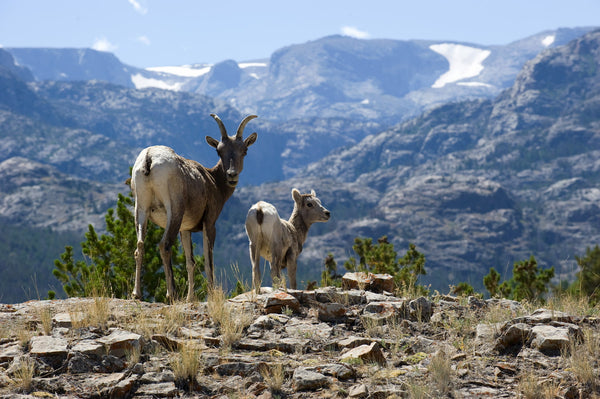 rocky mountain big horn sheep in the wind river range
