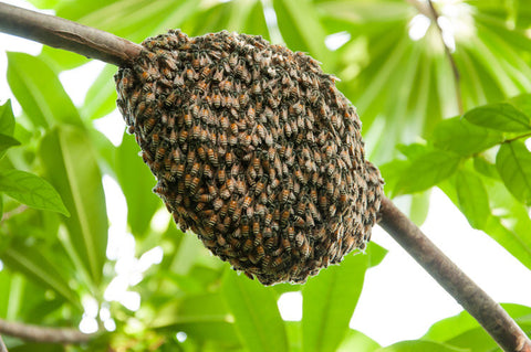 Swarm of bees on a branch in a tree