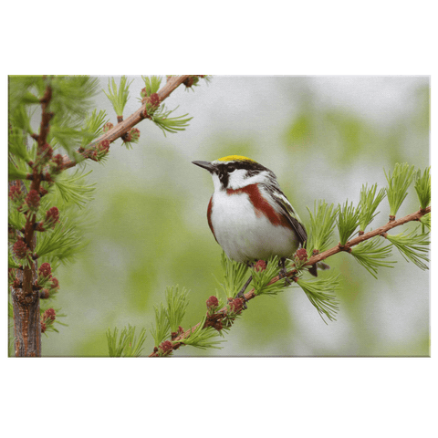 Bird Watcher Gift | Warbler Photo Print on Framed Canvas Wall Art | Nature Wildlife Photography Bird Lover Ornithologist Gift