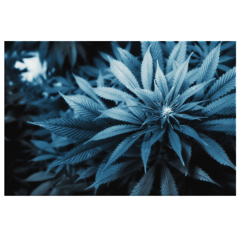 Blue Marijuana Plant Cannabis Leaf Framed Canvas Wall Art Print | 420 Photography Stoner Home Deco Gift Weed Plants Sativa Indica