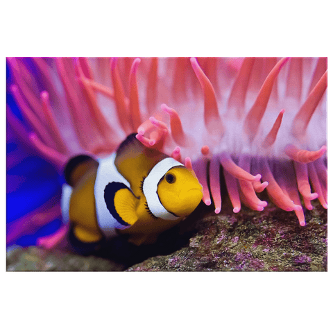 Clown Fish & Coral Sea Life Photo Print on Framed Canvas Wall Art | Great Barrier Reef Colorful Underwater Art Picture | Reef Photography