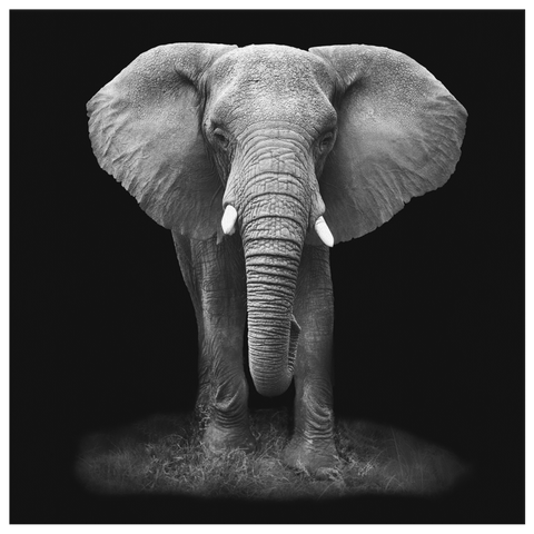 Black & White Elephant Modern Contemporary Safari Animals Art Photo Print on Framed Canvas Wall Hanging | Classy Living Room Home Decor