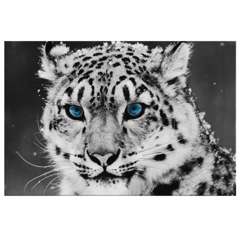 Blue Eyed White Snow Leopard Framed Canvas Wildlife Photo Print