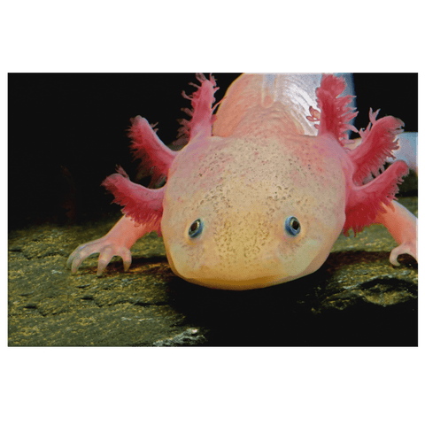 Axolotl Walking Fish under Sea Framed Canvas Photo Print