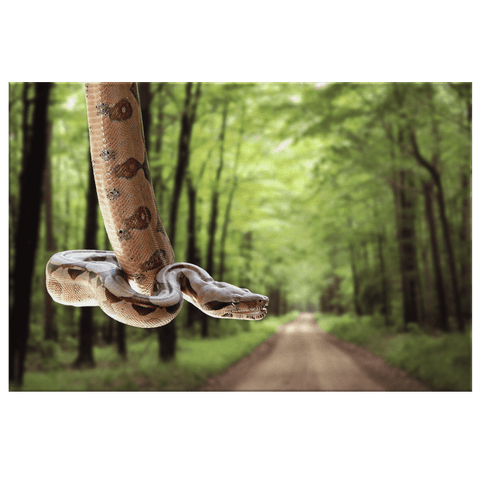 Stunning Snake On Forest Road Photo Print on Framed Canvas Wall Art | Python Boa Constrictor Snake Wall Art| Kids Birthday Gift