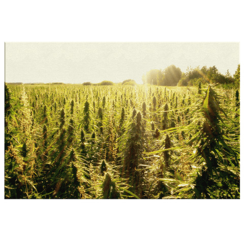 Marijuana Field Weed Plants 420 Cannabis Photo Print on Framed Canvas Wall Art