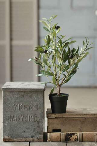 Potted olive bush