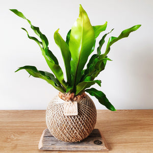 Large Birdsnest Fern Kokedama by The Forest Collection