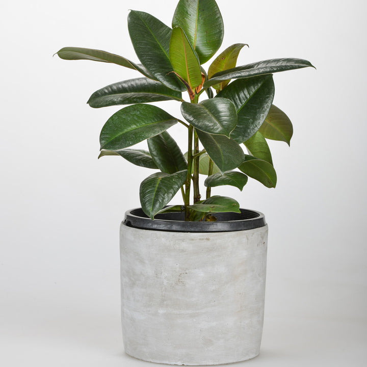 FICUS IN CONCRETE POT