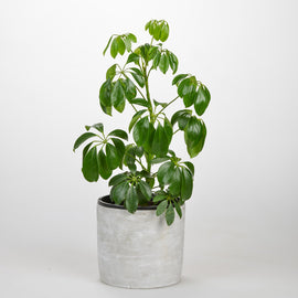 DWARF UMBRELLA TREE IN CONCRETE POT