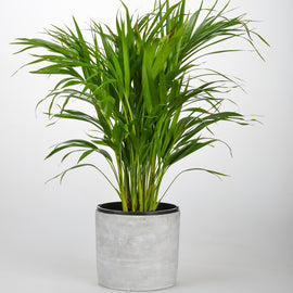 GOLDEN CANE PALM IN CONCRETE