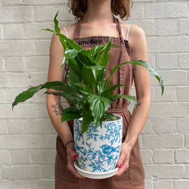 SPATHIPHYLLUM IN BLUEBIRD POT