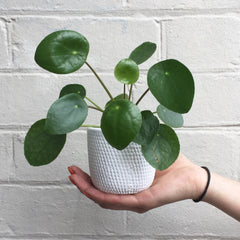 MINI MONEY PLANT
