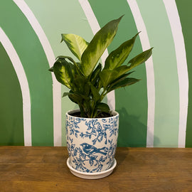 DIEFFENBACHIA IN BLUEBIRD POT