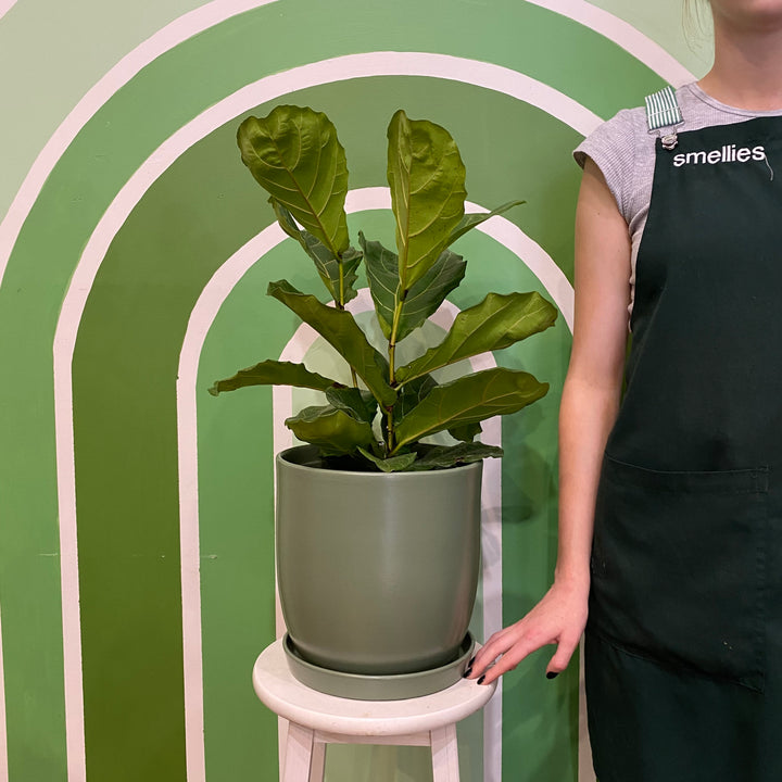 FIDDLE LEAF FIG (SAGE POT)