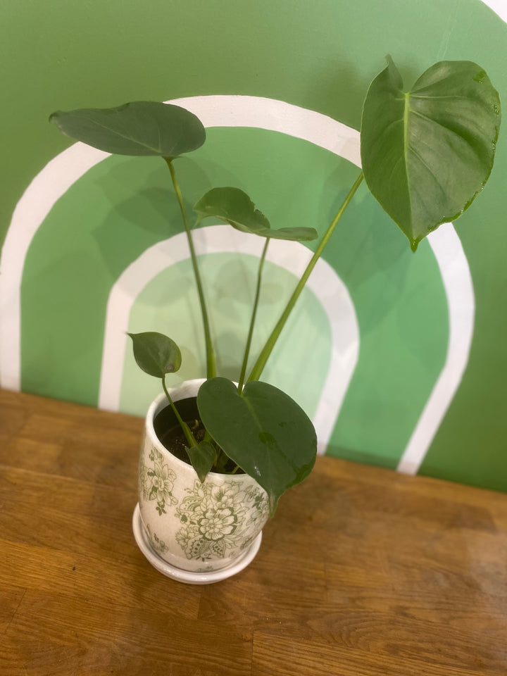 MINI PHILODENDRON IN POT