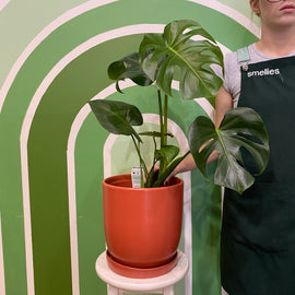 MONSTERA IN RUST POT