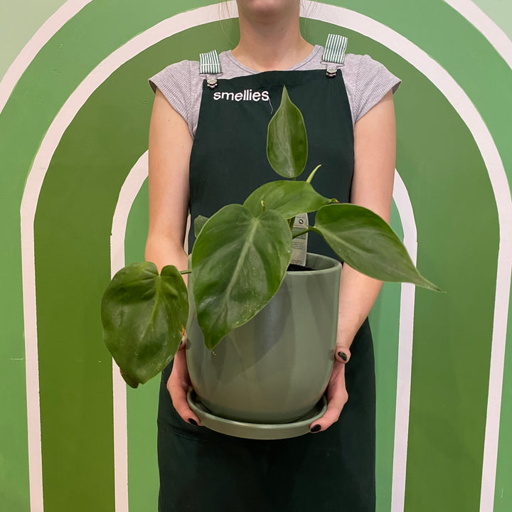 PHILODENDRON IN SAGE POT