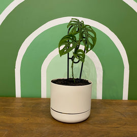SWISS CHEESE PLANT IN SELF-WATERING POT (WHITE)