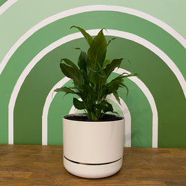 PEACE LILY IN SELF-WATERING POT (WHITE)