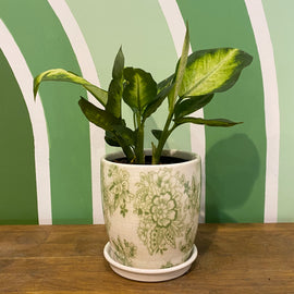 DIEFFENBACHIA IN GREEN FLOWER POT