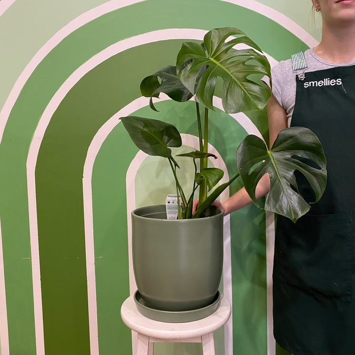 MONSTERA IN SAGE POT