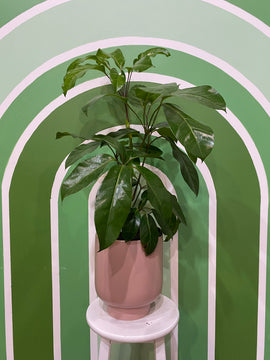 DWARF UMBRELLA TREE