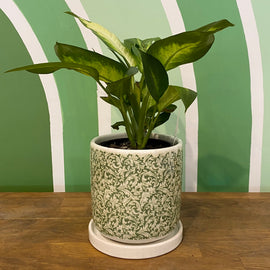 DIEFFENBACHIA IN GREEN CRACKLE GLAZE POT