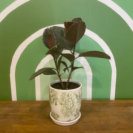 MINI RUBBER PLANT IN GREEN FLOWER POT