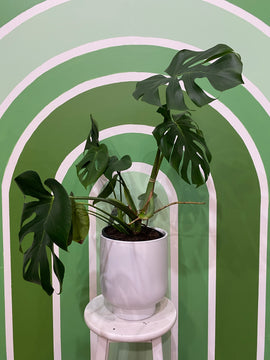 MONSTERA PLANT - WHITE POT